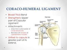 Front Of The Shoulder - the shoulder joint