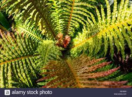 native brazilian plants brazilian fern blechnum brasiliense stock photo royalty free