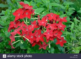 ornamental tobacco nicotiana x sanderae flowering stock photo