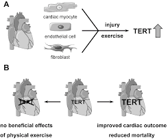 genes free full text role of telomerase in the cardiovascular