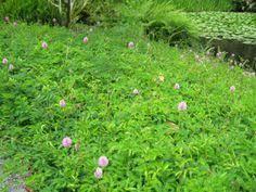 ornamental peanut grass plants grasses gardens