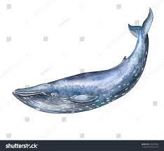 big blue whale isolated on white stock illustration 643043260