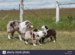 australian shepherd 11 weeks old blue merle and red tri stock photos u0026 blue merle and red tri stock