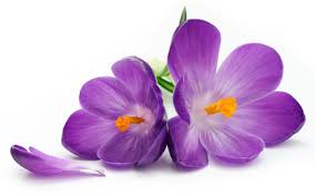 purple flower purple flower photos 07179 baltana