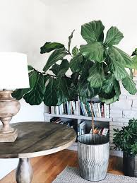 Fiddle Leaf Fig Tree Care by A Growing Fiddle Leaf Fig The Inspired Room