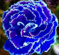 blue carnations saavyseeds cobalt carnation seeds 35 count garden