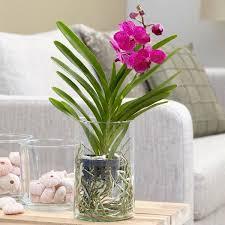 vanda orchid buy vanda orchid in a glass vase vanda tayanee cerise delivery