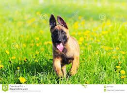 belgian sheepdog merchandise malinois puppy dog 4 months old belgian sheepdog stock photo