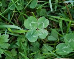 file four leaf clover trifolium repens 2 jpg wikimedia commons