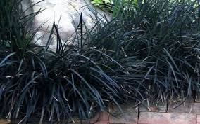 mondo ornamental grass for sale naples