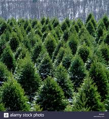 christmas tree farm north of bloomsburg pennsylvania usa stock
