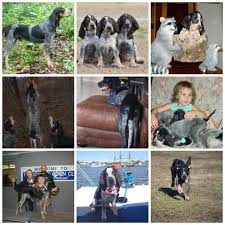 bluetick coonhound puppies for sale in louisiana old fashioned bluetick coonhound puppies for sale