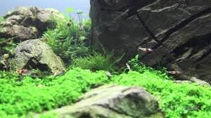 japanese aquascape iwagumi zen aquarium aquascape live planted aquarium