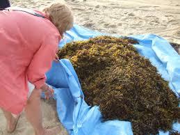seaweed garden nutrients u2013 tips for composting seaweed as a soil