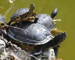turtles times sea turtle exploration