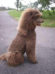 haircutsfordogs poodlemix the best part is all that hairs stays on the dog pinteres