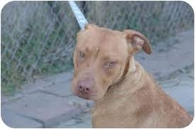 american pitbull terrier c yazmin adopted dog west los angeles ca vizsla american pit