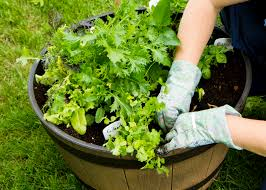 vegetable container gardening basics