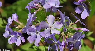 Phlox Flower Wild Blue Phlox Phlox Divaricata L