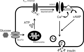 extracellular calcium influx activates adenylate cyclase 1 and