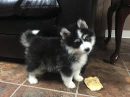 puppies indiana mini husky puppies 4 sale in indiana in hoobly classifieds