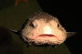 bob the blobfish is living in a japanese aquarium