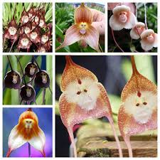Monkey Orchid 8 Kinds Cute Monkey Face Orchid Seeds Monkey Orchid Bonsai Plants