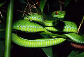 a green snake wallpapers pit viper snake wallpaper