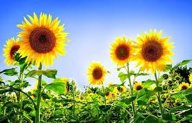 foto wallpaper bunga matahari 5 gambar bunga matahari untuk wallpaper gambar animasi gif swf