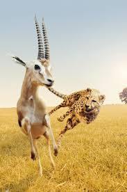 can a human outrun a cheetah wonderopolis
