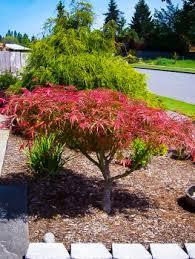 small garden trees for sale cori matt garden