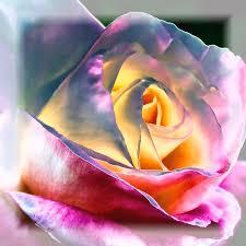 diana rose princess diana rose photograph by david patterson