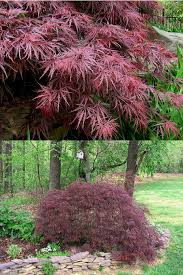 Ornamental Maple Tree Buy Crimson Japanese Maple Tree For Sale From