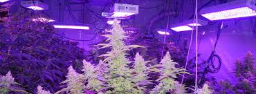 How Far Away Should Marijuana by How To Grow Huge Marijuana Buds 7 Tips