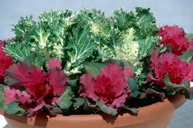 plant flowering kale cabbage in cool season mississippi state