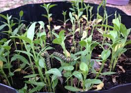 milkweed shortage sparks u201calternative fuels u201d for hungry monarch