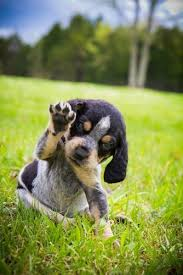 videos of bluetick coonhounds bleu missing me bluetick coon hound pinterest