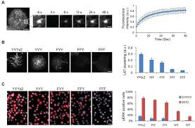 phase separation of signaling molecules promotes t cell receptor