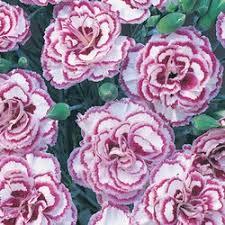 Girls Favourite Flowers - 28 best dianthus images on pinterest flowers garden flower