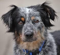 adopt a australian shepherd westside german shepherd rescue of los angeles