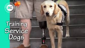 service dog training session youtube