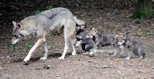 wolf cubs at cotswold wildlife park pictures getty images