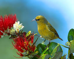 Hawaii birds images Native hawaiian forest birds of hawai i volcanoes national park jpg