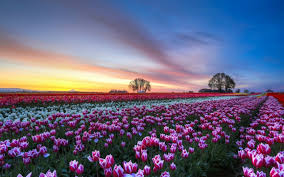tulips tag wallpapers page 3 gardens parks netherlands keukenhof