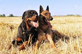 belgian sheepdog breeds picture of a purebred belgian sheepdog malinois and rottweiler