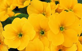 yellow flowers yellow flowers 14154 1920x1200 px hdwallsource