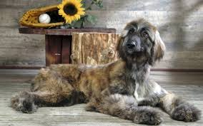 afghan hound group afghan hound info temperament mixes training puppies pictures