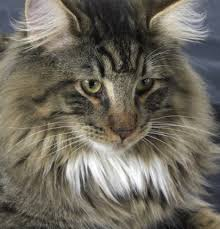 norwegian forest cat kinda what our frazer looked like
