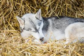 huskypark u2013 sled dog tourist farm estonia
