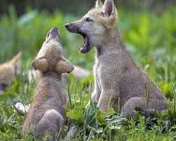wolf cubs in howl practice animals pinterest wolf wildlife